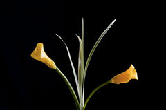 Żółta kalii leluja Fotografia Stock
