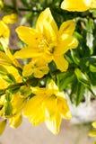 Żółta leluja Obraz Royalty Free