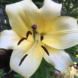 Żółta leluja Zdjęcia Royalty Free