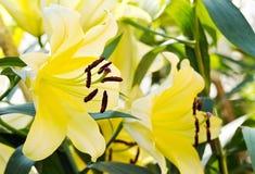 Żółta leluja flower3 Fotografia Royalty Free