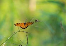 Żółta motylia trawa Fotografia Stock