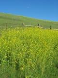 Żółta musztarda kwitnie przeciw niebieskiemu niebu Fotografia Stock