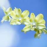 Żółta orchidea Zdjęcie Royalty Free