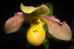 Żółta paphiopedilum orchidea Zdjęcia Royalty Free