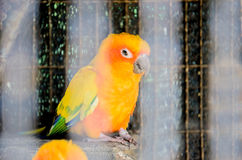 Papuga w klatce Zdjęcia Royalty Free