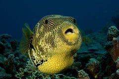 Żółta Puffer ryba Zdjęcia Royalty Free