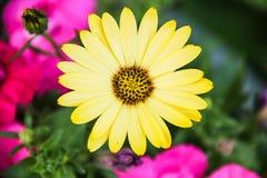 Żółta stokrotka Fotografia Royalty Free