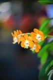 Żółta Vanda orchidea Zdjęcia Royalty Free