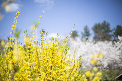 Żółta wiosna Fotografia Royalty Free