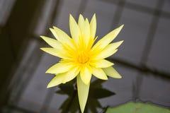 Żółta wodna leluja Zdjęcie Royalty Free
