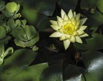 Żółta wodna leluja Obraz Royalty Free