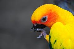 Żółte ary Ptasie obrazy stock
