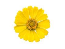 Żółte Cynie Obraz Royalty Free