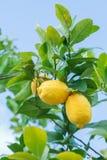 Żółte cytryny na drzewie Zdjęcia Royalty Free