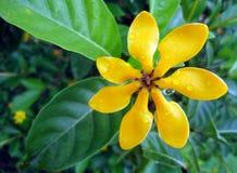 Żółte kwiatu i wody krople Fotografia Royalty Free