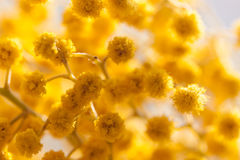 Żółte mimozy Zdjęcia Royalty Free