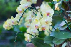 Żółte orchidee Fotografia Royalty Free