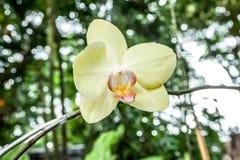 Żółte orchidee w ogródzie Fotografia Royalty Free