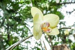 Żółte orchidee w ogródzie Zdjęcie Stock