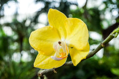 Żółte orchidee w ogródzie Zdjęcia Stock