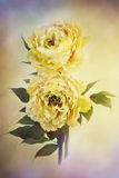 Żółte peonie fotografia royalty free