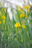 Żółtego irysa kwiat w zmierzchów promieniach. Zdjęcia Royalty Free