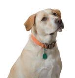 Żółtego psa spojrzenia dla fundy Obrazy Royalty Free