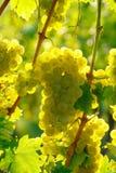 Żółtego wina winogrono Obrazy Royalty Free