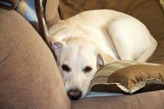 Żółty aporter odpoczywa na kanapie Fotografia Stock