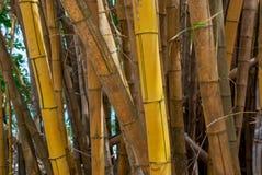 Żółty bambusowy las Zdjęcie Stock