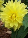Żółty dalia kwiat Zdjęcie Stock