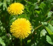 Żółty dandelion Zdjęcie Stock