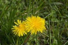 Żółty dandelion Zdjęcia Stock