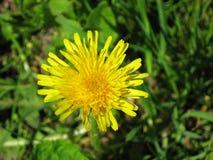 Żółty dandelion na zielonej trawie Obraz Royalty Free