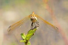 Żółty dragonfly Zdjęcia Stock