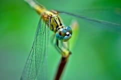 Żółty dragonfly Zdjęcie Stock