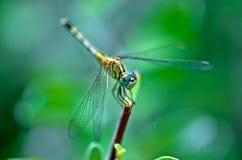 Żółty dragonfly Obraz Stock
