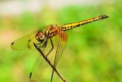 Żółty Dragonfly Fotografia Royalty Free