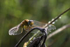 Żółty dragonfly Fotografia Stock