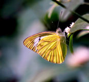 Żółty Drzewny motyl Obraz Royalty Free