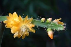 Żółty epiphyllum Zdjęcia Royalty Free