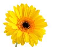 Żółty gerber Zdjęcia Royalty Free