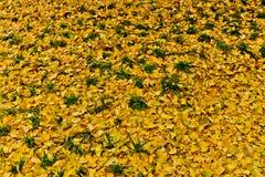Żółty ginkgo Fotografia Stock