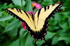 Żółty i czarny motyl na kwiacie Obrazy Royalty Free