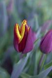 Żółty i Czerwony tulipan fotografia royalty free