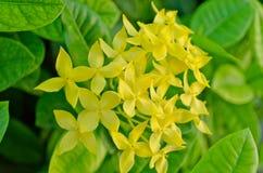 Żółty ixora kwiat Obrazy Stock