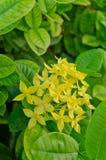 Żółty ixora kwiat Zdjęcie Royalty Free