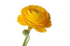 Żółty jaskieru kwiat Zdjęcia Stock