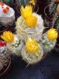 Żółty kaktus Fotografia Royalty Free