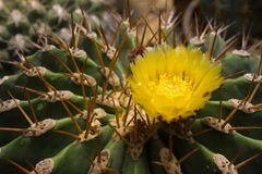Żółty kaktusa kwiat Zdjęcie Stock